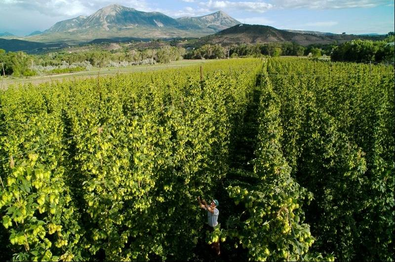 Hops farming grows slowly despite brewers' demand